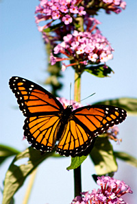 Monarch_Butterfly_000002is[1]