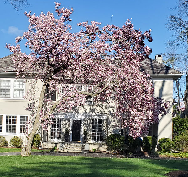 Magnolia blooming in Stamford, Ct as featured o Lingerie Briefs